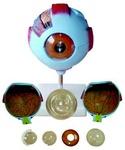 Глазное яблоко (7 частей, увеличенные в 5 раз)
