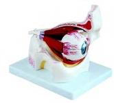 Увеличенная модель глазного яблока с глазницей