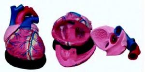 Анатомическая модель сердца взрослого человека