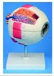 Увеличенная модель глазного яблока с подставкой