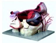 Увеличенная модель глазного яблока с глазницей, кровеносными сосудами и нервами