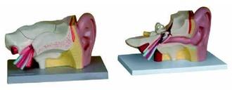 Увеличенная модель уха (3 составные части)