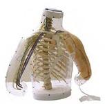 Тренажер  внутримышечных инъекций