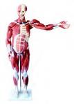 Мышцы мужчины с внутренними органами