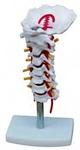 Модель шейного отдела позвоночника с шейной артерией