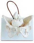 Модель таза женщины с черепом плода
