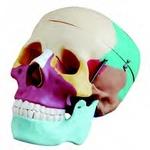 Цветной череп человека