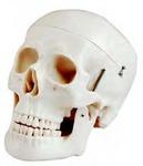 Модель черепа взрослого человека