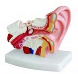 Увеличенная модель уха
