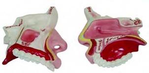 Модель носовой полости