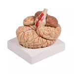 Модель мозга в натуральную величину