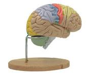 Макет головного мозга