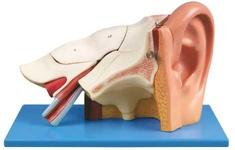 Анатомическая модель уха
