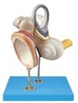 Внутреннее ухо, слуховые косточки и барабанная перепонка