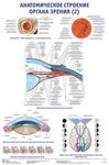 """Плакат """"Анатомическое строение органа зрения 2"""""""
