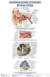 """Плакат """"Анатомическое строение органа слуха"""""""