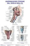 """Плакат """"Анатомическое строение уха, горла и носа 3"""""""