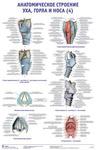 """Плакат """"Анатомическое строение уха, горла и носа 4"""""""