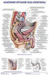 "Плакат ""Анатомия органов таза мужчины"""