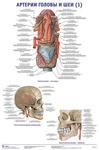 """Плакат """"Артерии головы и шеи 1"""""""