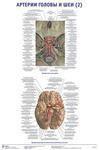 """Плакат """"Артерии головы и шеи 2"""""""