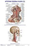 """Плакат """"Артерии головы и шеи 3"""""""