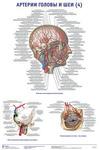 """Плакат """"Артерии головы и шеи 4"""""""