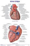"""Плакат """"Вены сердца"""""""